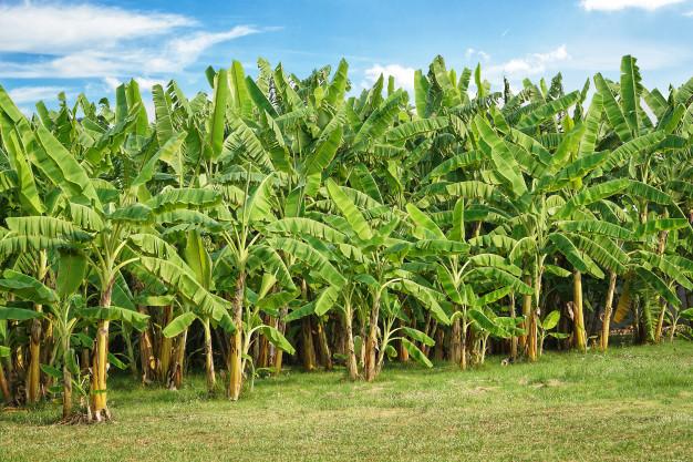 Photo of Ministro afirma cosecha de 113,000 tareas de plátanos bajará su precio
