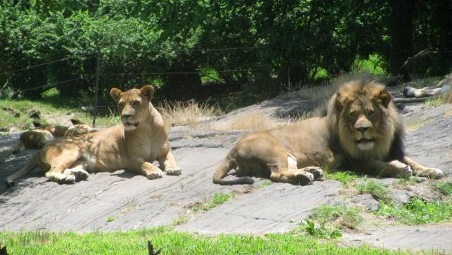 Photo of Cuatro tigres y 3 leones dan positivo al coronavirus en el zoológico del Bronx