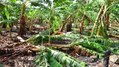 Photo of Agricultura se ve afectada por ventarrones