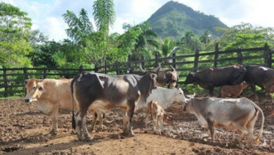 Photo of DAJABÓN: Denuncian ola robos de reses cometidos por haitianos