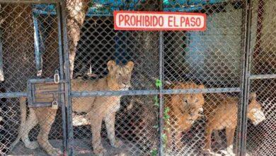 Photo of Cierra zoológico de Santiago tras quejas por presuntos maltratos a los animales